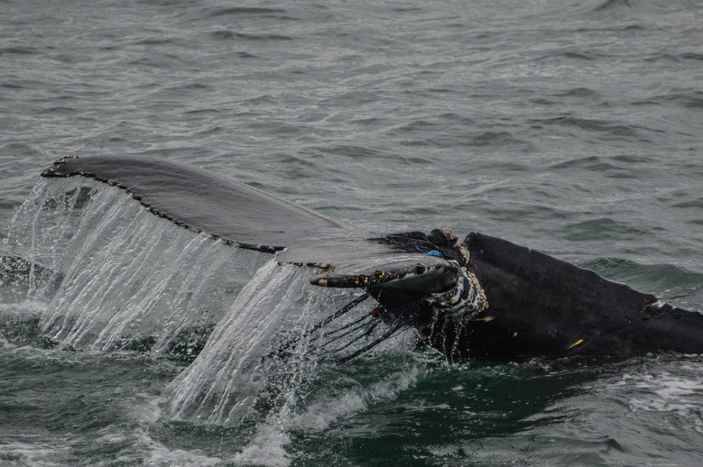 Cola de ballena con redes de pesca enredadas. Poppyns Magazine